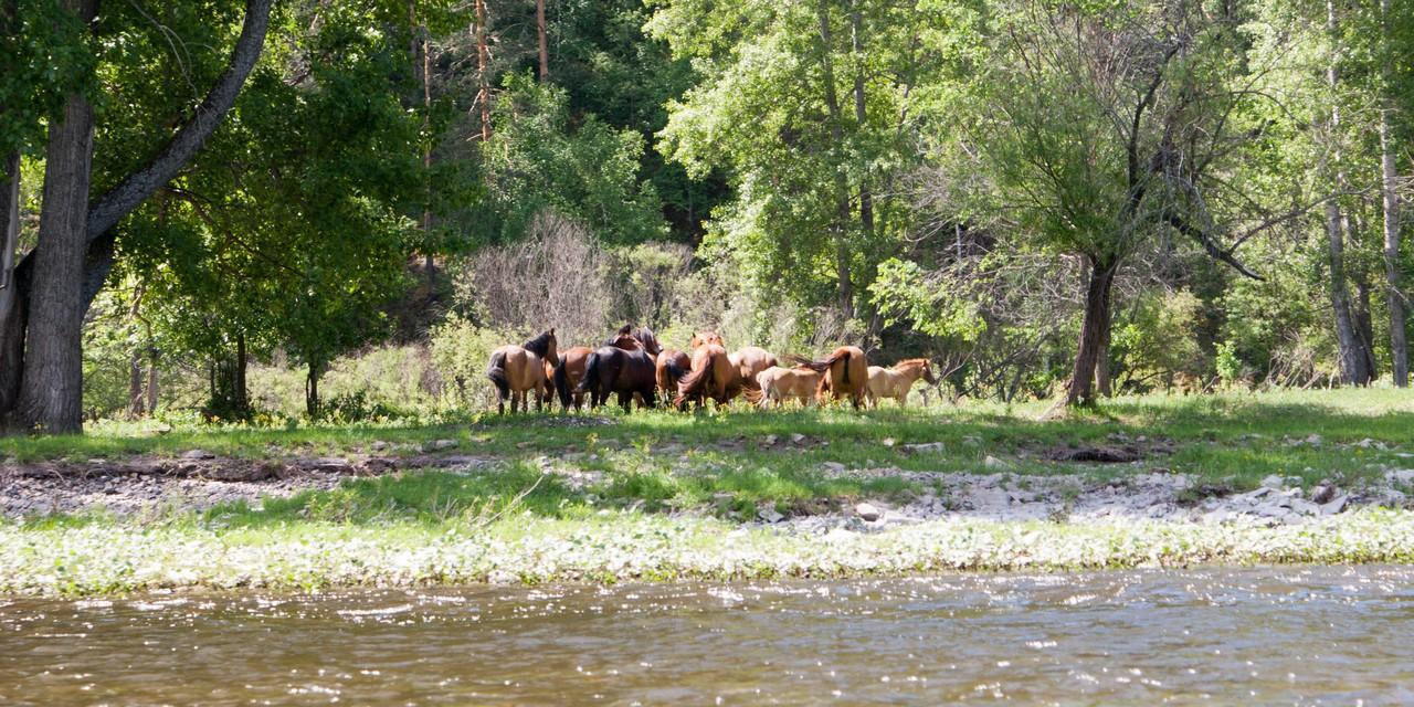 Кони на реке